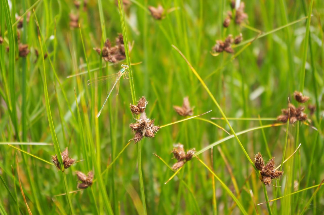 Szitakötő a mocsaras rét növényein