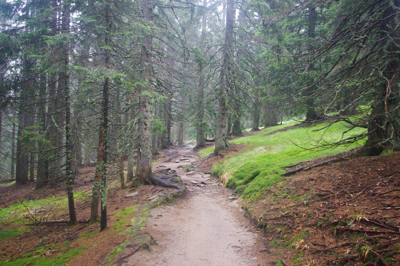 Ismét a sűrű és öreg öreg erdő a Pohorje-hegységben